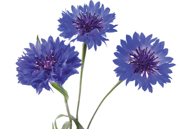 RonaCare-Balmance-cornflower-3