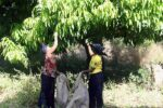 GIV_HarvestingMangoLeaf_600x400